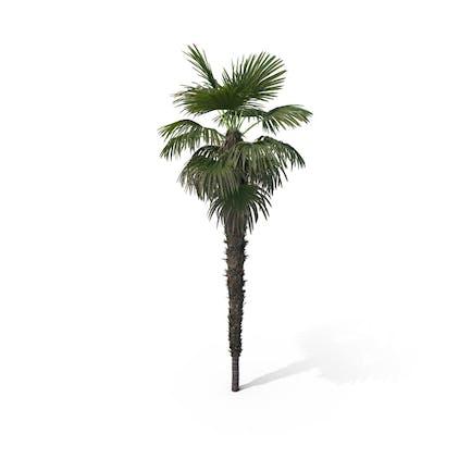 Palm Tree Trachycarpus Fortunei