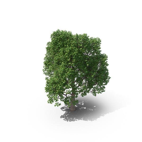 Thumbnail for Baum
