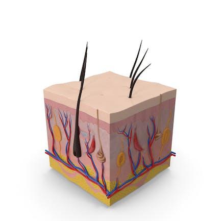 Querschnitt der menschlichen Haut