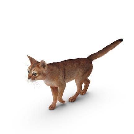 Abessinische Katze