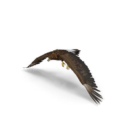 Águila dorada aleteo