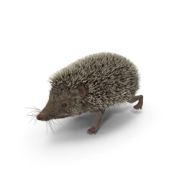Cover Image for Hedgehog