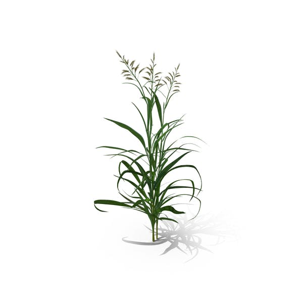 Thumbnail for Reed Canary Grass (Phalaris Arundinacea)