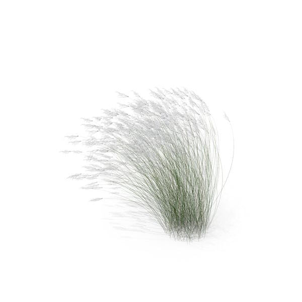 Thumbnail for Stipa Grass