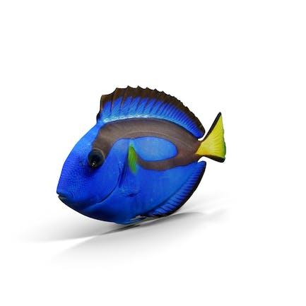 Pazifikblau Tang