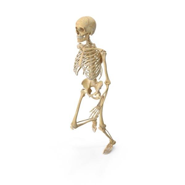 Real Human Female Skeleton Jogging