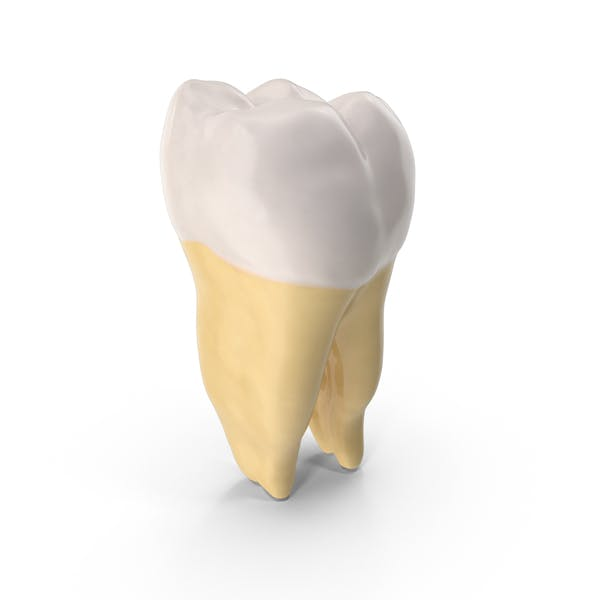 Thumbnail for First Molar Lower Jaw Right
