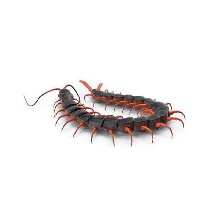 Rote Scolopendra Subspinipes