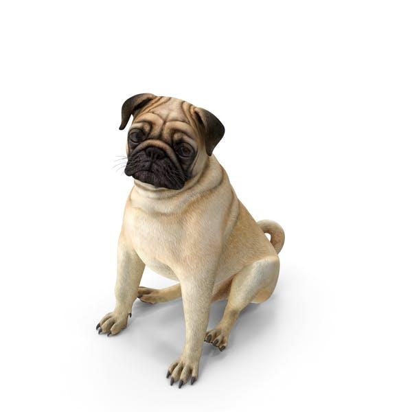 Pug Dog Sitting Pose