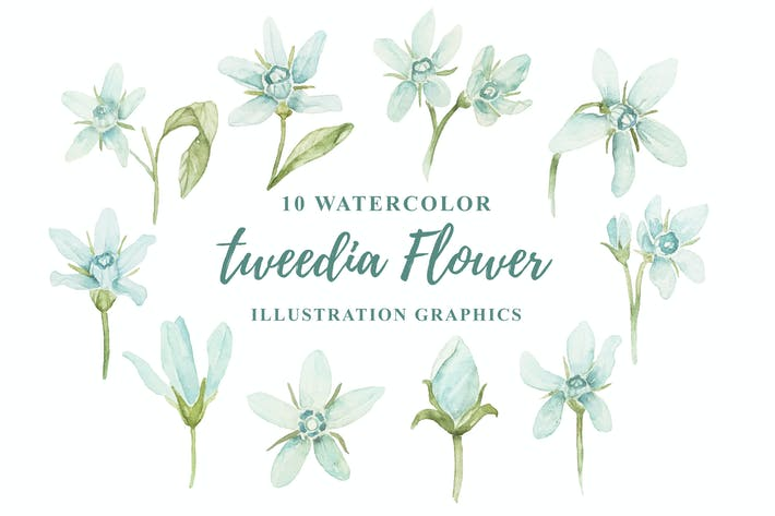 Thumbnail for 10 Watercolor Tweedia Flower Illustration Graphics