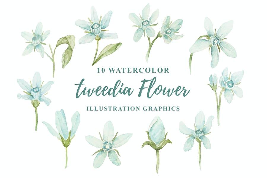 10 Watercolor Tweedia Flower Illustration Graphics