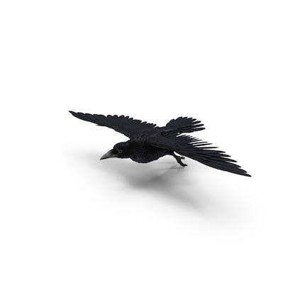 Fliegende Rook Corvus Pose