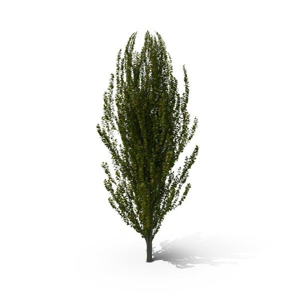 Thumbnail for European Beech Tree
