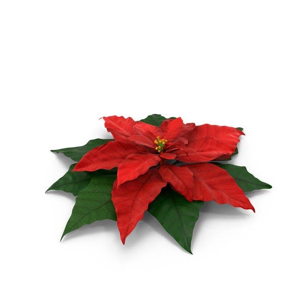 Cover Image for Pointsettia