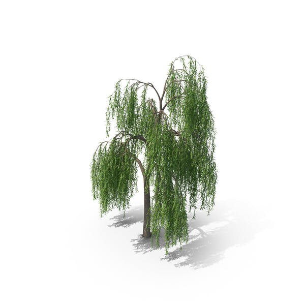 Thumbnail for Weeping Willow Tree