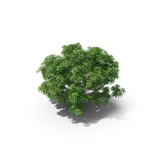 Thumbnail for Mamey Sapote Tree