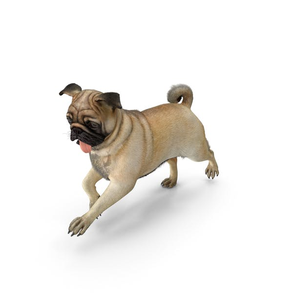 Pug Dog Run Pose Fur