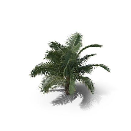 Palm Tree Beccariophoenix Alfredii