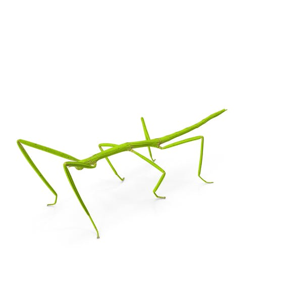 Stick Insect Green
