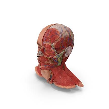 Anatomisches männliches Kopfmodell mit Hals