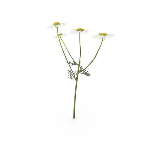 Matricaria Chamomilla White Yellow