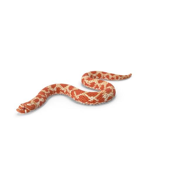 Red Hognose Snake Crawling Pose