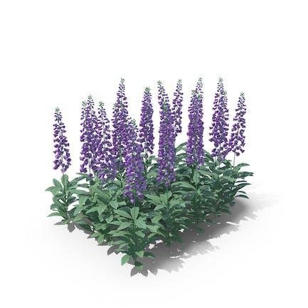 Digitalis Violett
