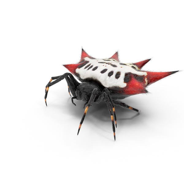 Cover Image for Spiny Orb Weaver Spider