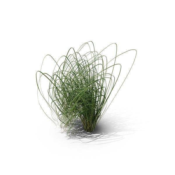 Thumbnail for Prairie Cordgrass