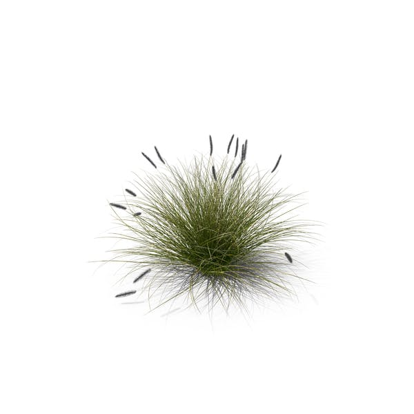 Foxtail Fountain Grass