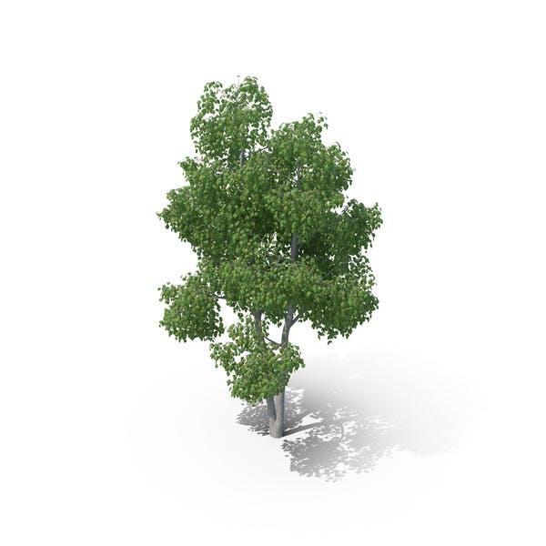 Thumbnail for Birch Tree