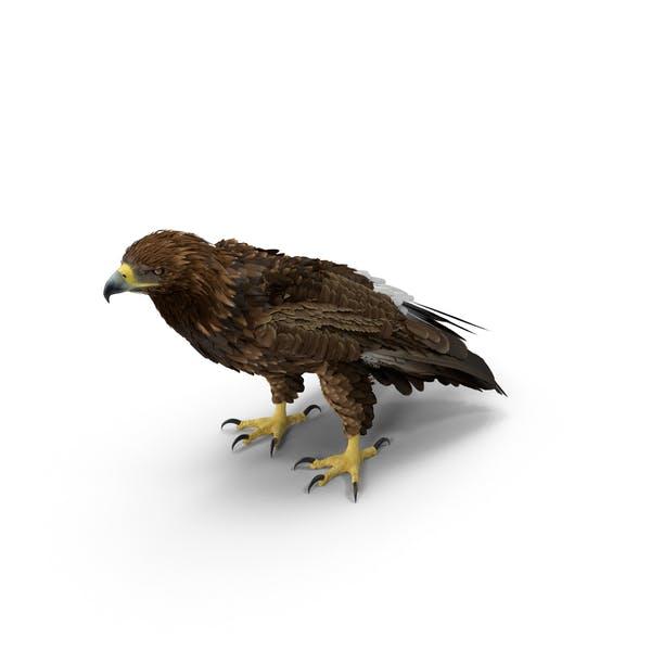 Thumbnail for Golden Eagle Standing