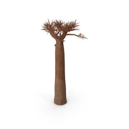 Naked Baobab