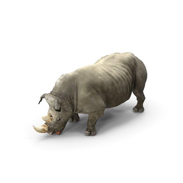 Adult Rhino Drinking
