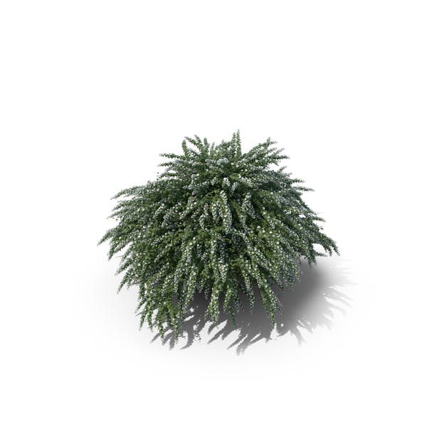 Cover Image for White Flower Bush