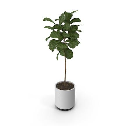 Plant Ficus Lyrata