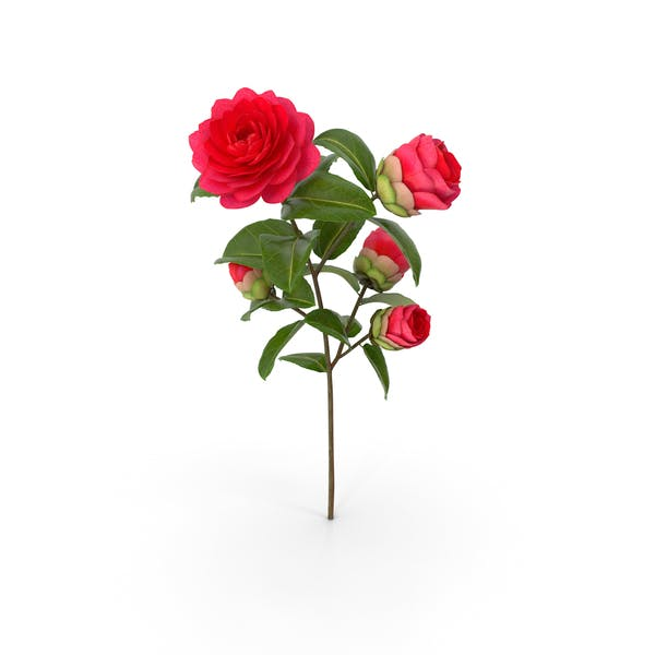 Gartenblume Camellia Red