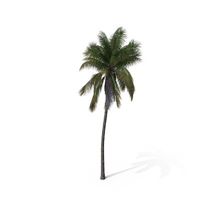 Palm Tree Cocos Nucifera