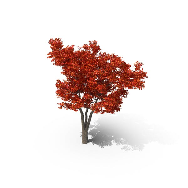 Thumbnail for Red Maple Tree