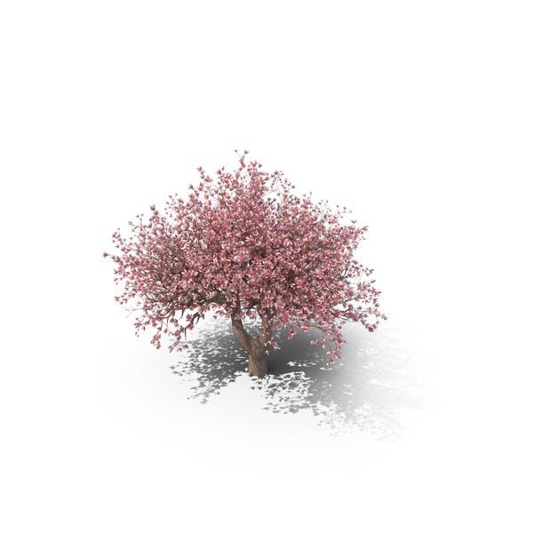 Thumbnail for Árbol de Magnolia