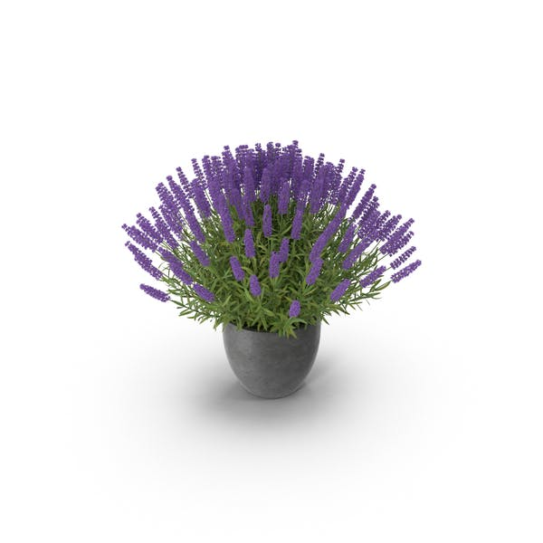 Cover Image for Potted Lavender
