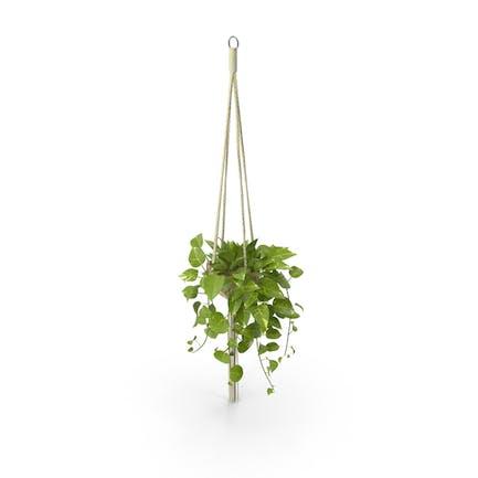 Hängende Hauspflanze