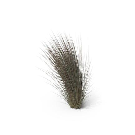 Beard Grass