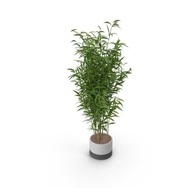 Umbrella Bamboo Plant