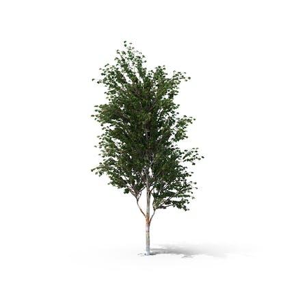 Chinese Red Birch Tree