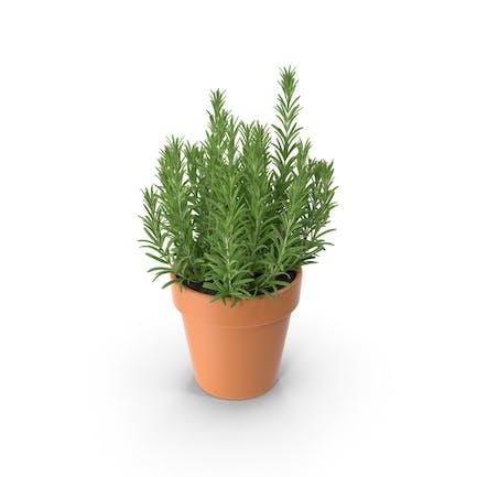 Rosemary Classic Pot