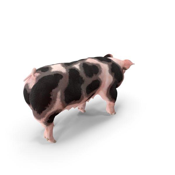 Pig Sow Peitrain Walking Pose