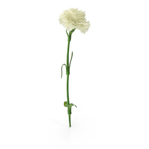 Thumbnail for Carnation