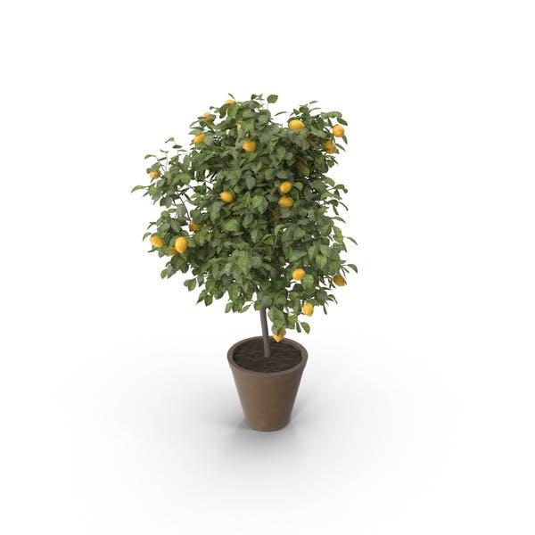 Thumbnail for Лимонное дерево