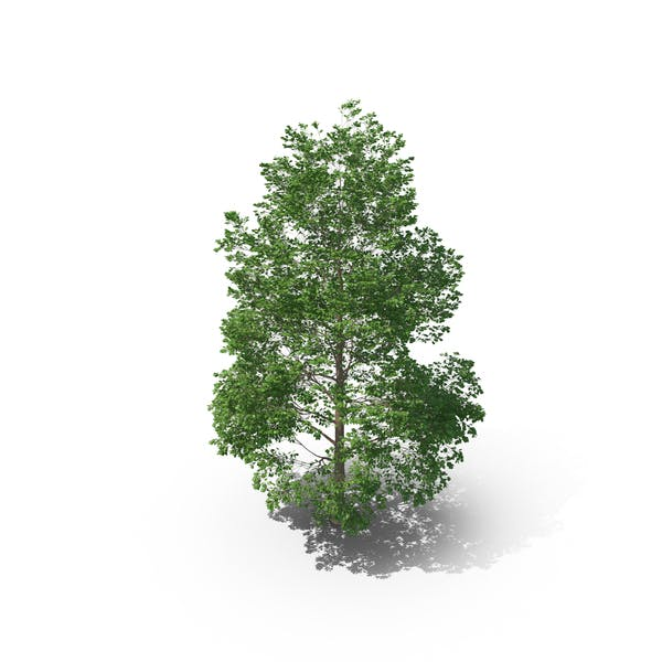 Cover Image for Canadian Poplar Tree